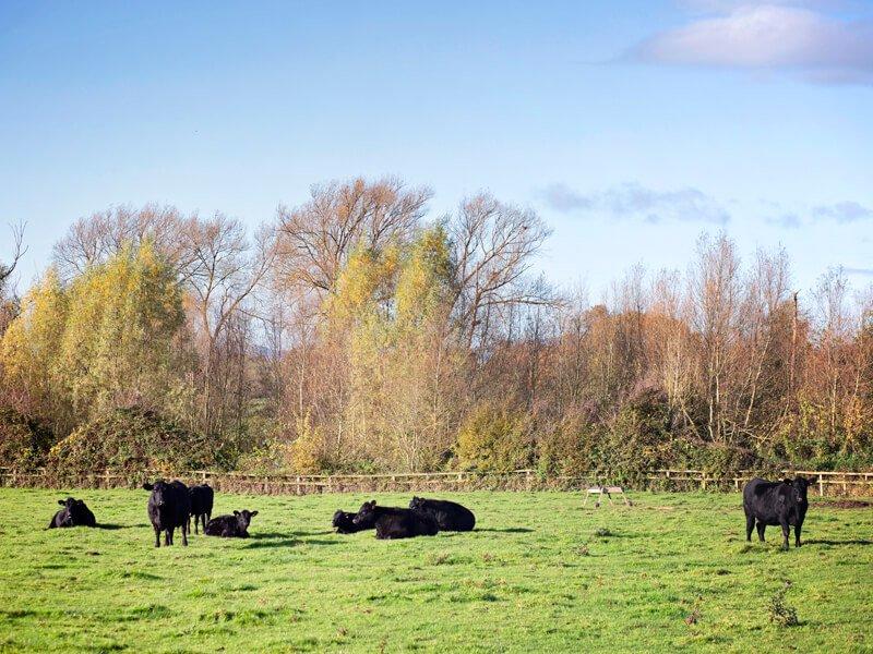 Eckington Manor Farm Cows Setting Down
