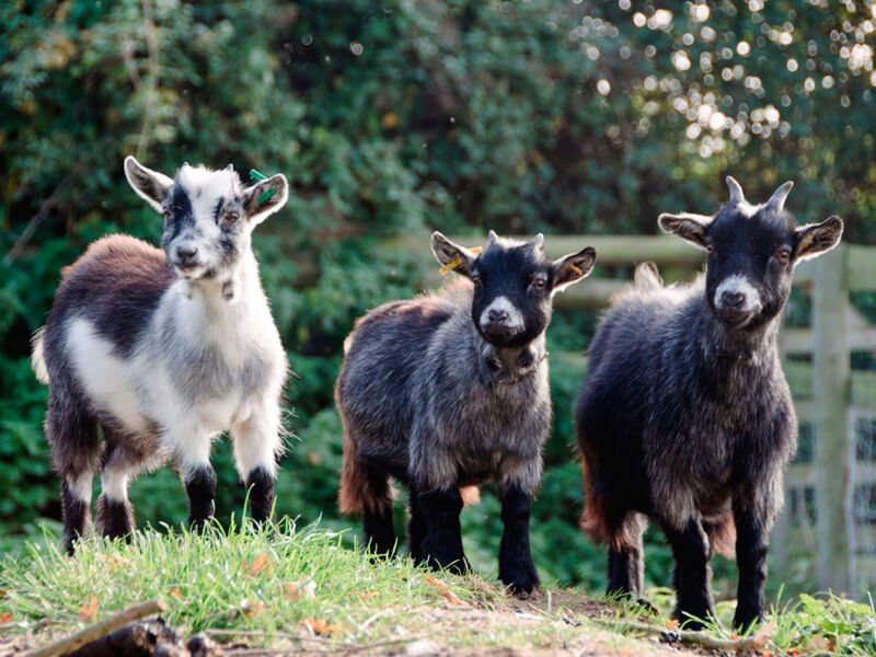 Eckington Manor Farm Goats